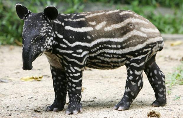 The Taper Tapir